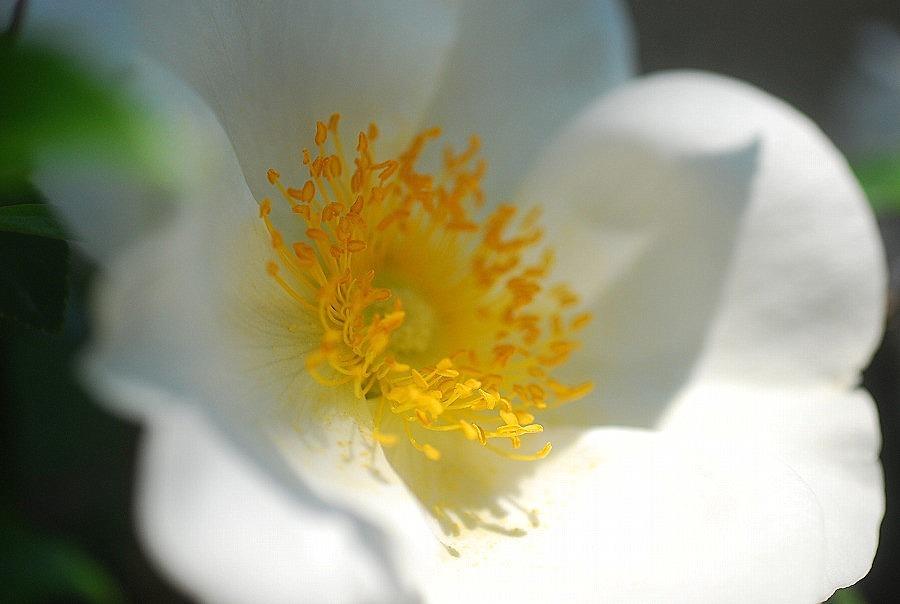 挿し木の白バラ_c0187781_11130594.jpg