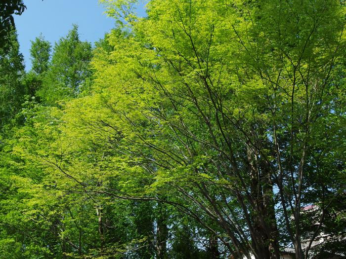 雑記 370 新緑の季節_d0016587_20481235.jpg