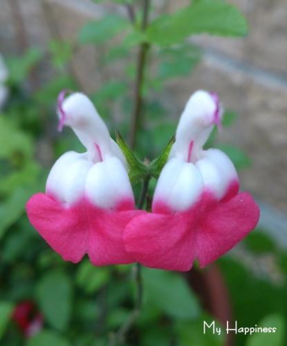 多肉植物の花とマルベリーの花_e0289203_2141375.jpg