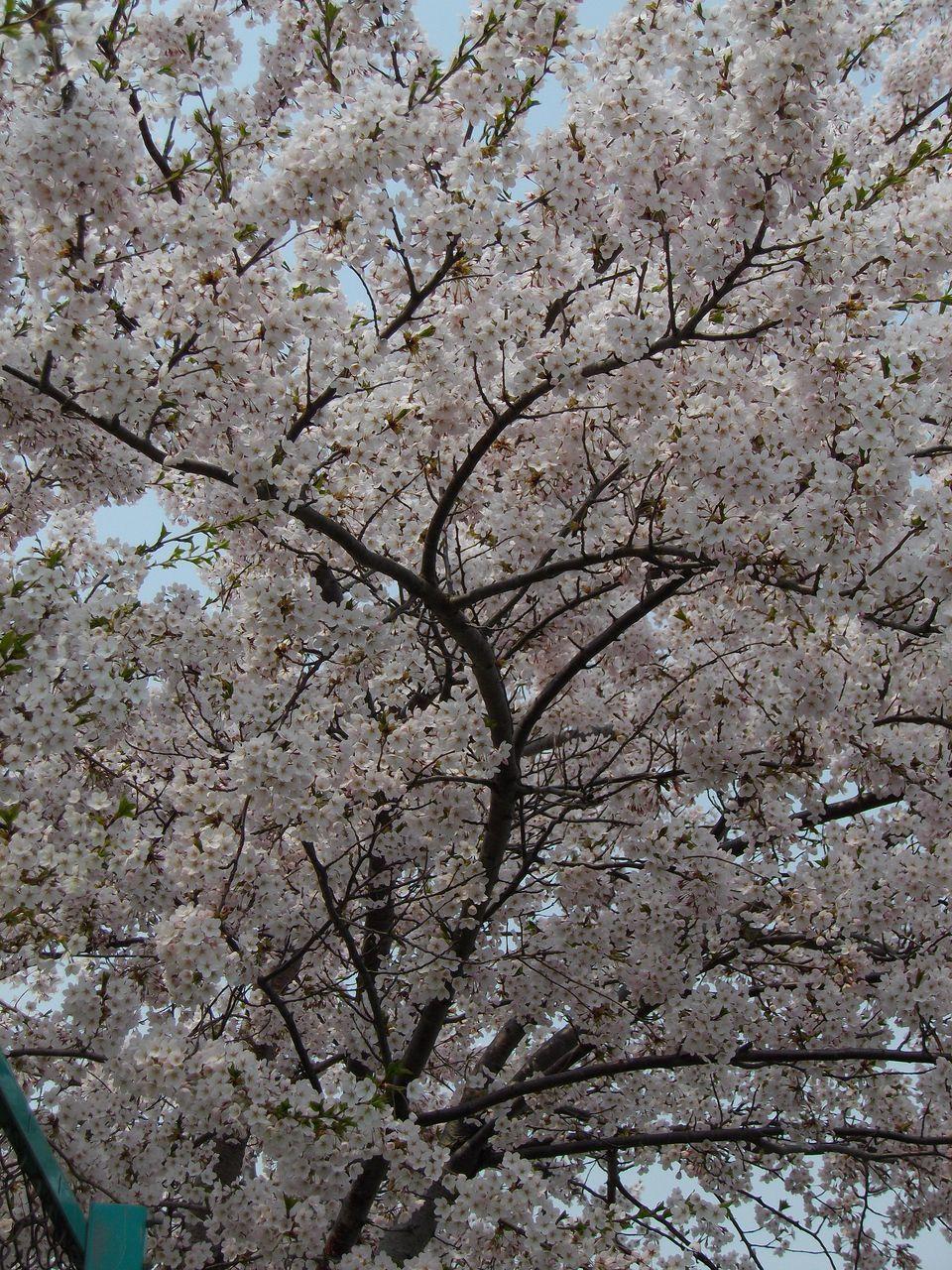 サクラ・桜・さくら でもPM2.5_c0025115_19343031.jpg
