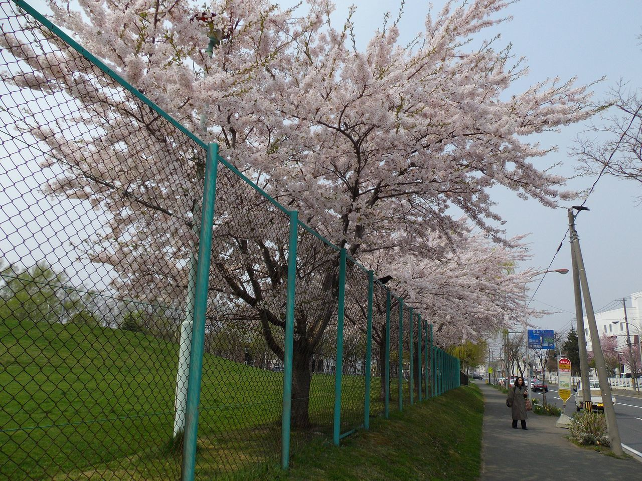 サクラ・桜・さくら でもPM2.5_c0025115_19343320.jpg
