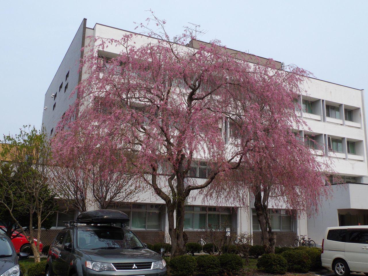サクラ・桜・さくら でもPM2.5_c0025115_19345154.jpg
