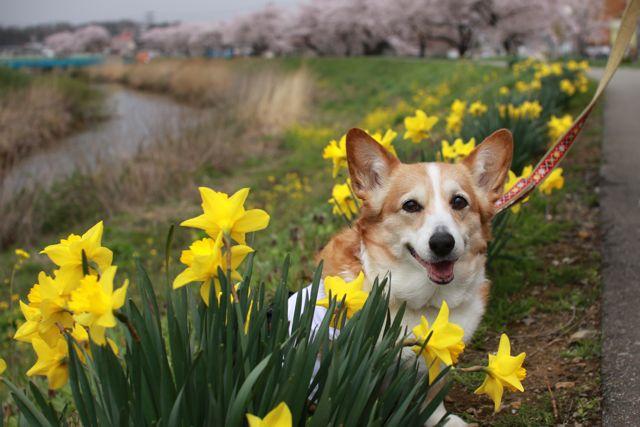 桜と水仙と笑顔のジュンちゃん_b0031538_22511470.jpg