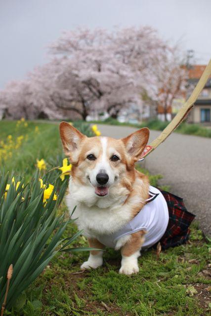 桜と水仙と笑顔のジュンちゃん_b0031538_22525516.jpg