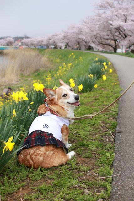 桜と水仙と笑顔のジュンちゃん_b0031538_22542039.jpg