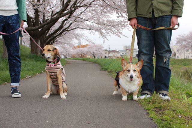 桜と水仙と笑顔のジュンちゃん_b0031538_2314724.jpg