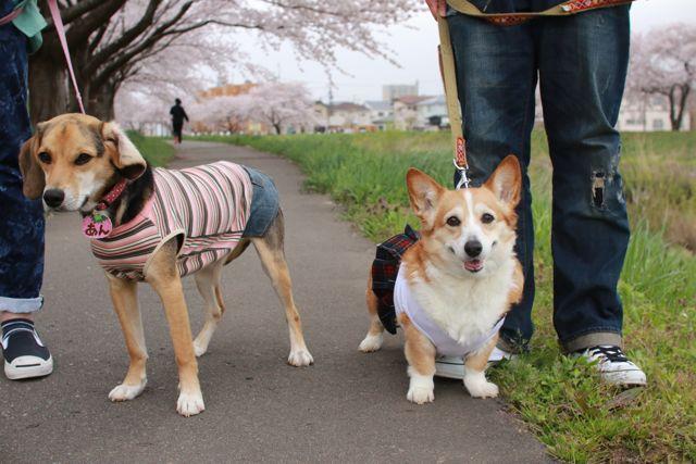 桜と水仙と笑顔のジュンちゃん_b0031538_2331343.jpg
