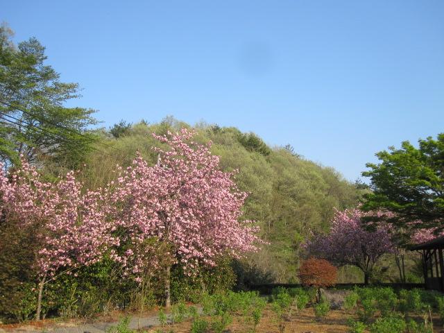 八重桜、石楠花の季節です_f0085369_2103229.jpg
