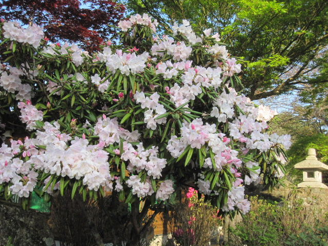 藤も咲き始めました_f0085369_21114823.jpg