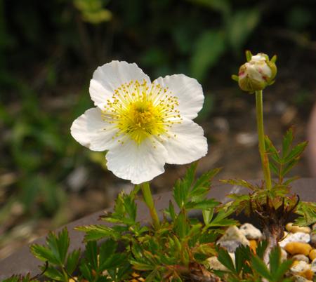 チングルマの開花と、シラネアオイなど_a0136293_18584453.jpg