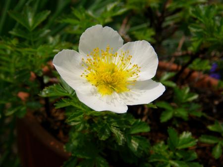 チングルマの開花と、シラネアオイなど_a0136293_19111623.jpg