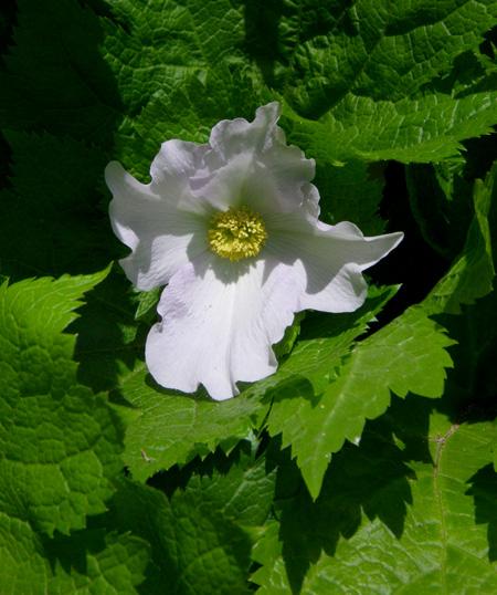 チングルマの開花と、シラネアオイなど_a0136293_19181544.jpg