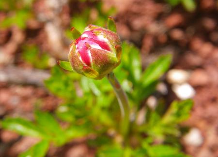チングルマの開花と、シラネアオイなど_a0136293_1931688.jpg