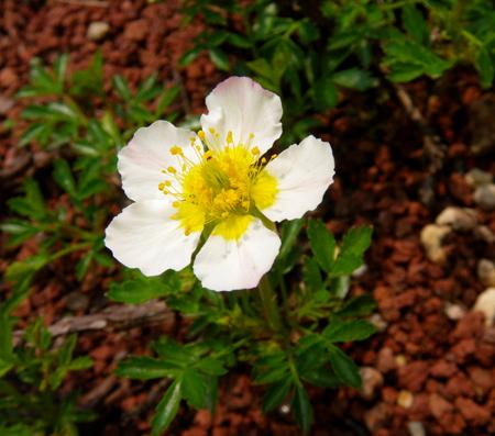 チングルマの開花と、シラネアオイなど_a0136293_1983346.jpg
