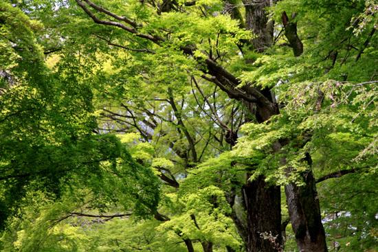 鷺森神社 新緑_e0048413_1856747.jpg