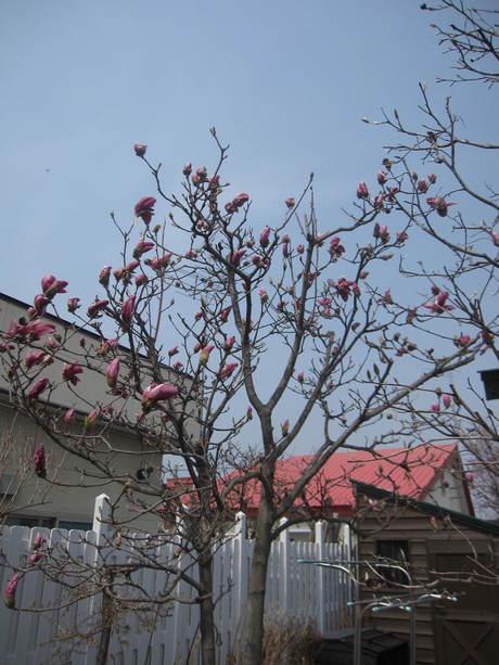 お庭の木々にお花が咲きだした~&美瑛選果の買い物処理_a0279743_6293888.jpg