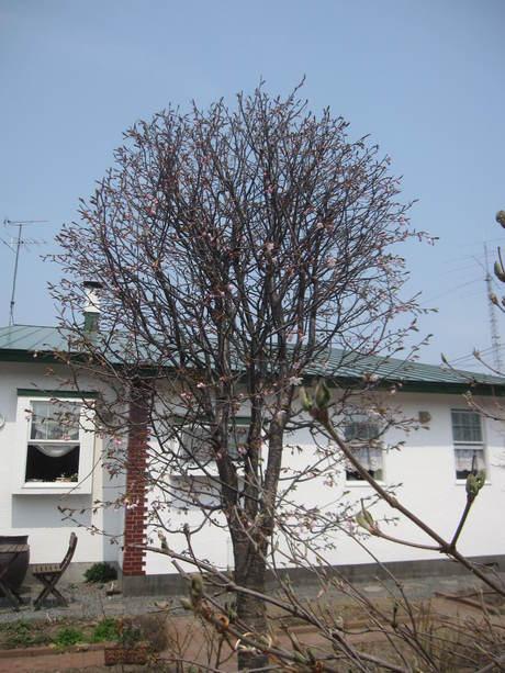 お庭の木々にお花が咲きだした~&美瑛選果の買い物処理_a0279743_6305655.jpg