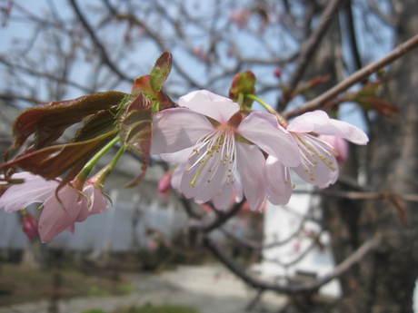 お庭の木々にお花が咲きだした~&美瑛選果の買い物処理_a0279743_63232.jpg