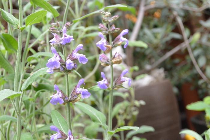 セージの花が咲いたよ。この色、好きだなー。&4月30日(木)のランチメニュー_d0243849_0163181.jpg