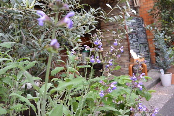 セージの花が咲いたよ。この色、好きだなー。&4月30日(木)のランチメニュー_d0243849_0174175.jpg