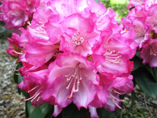 石楠花が咲いています_f0085369_21524795.jpg