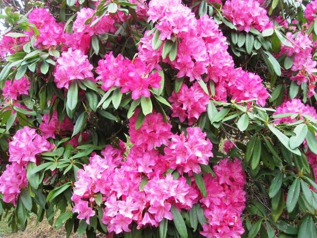 石楠花が咲いています_f0085369_2153296.jpg