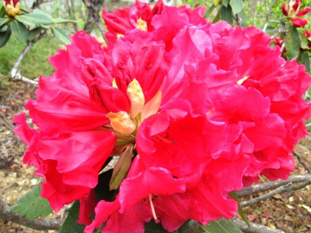 石楠花が咲いています_f0085369_21535245.jpg
