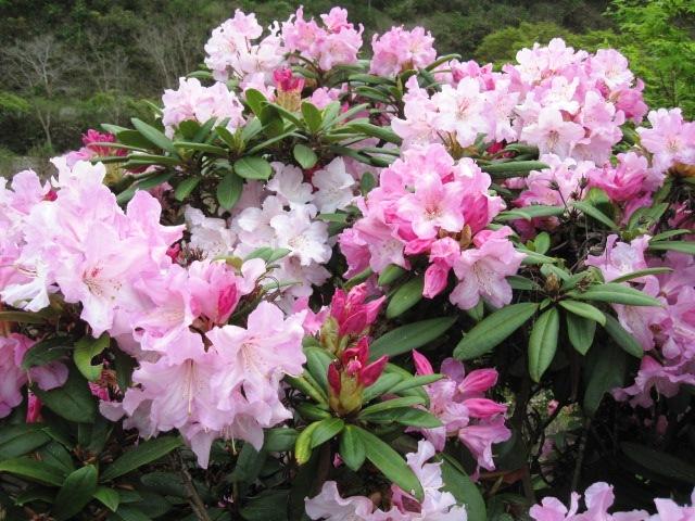 石楠花が咲いています_f0085369_21541665.jpg