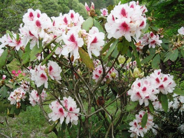 石楠花が咲いています_f0085369_21543329.jpg