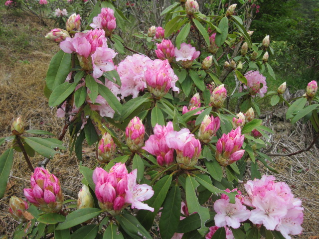 石楠花が咲いています_f0085369_2155064.jpg