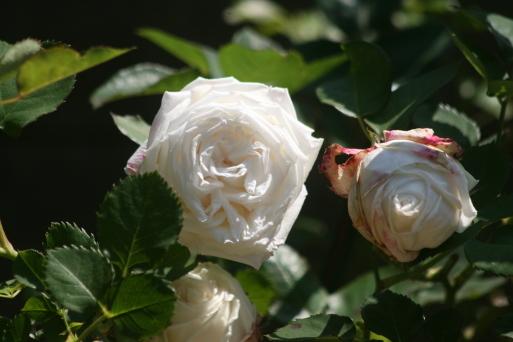 バラの花も_c0329378_20092413.jpg