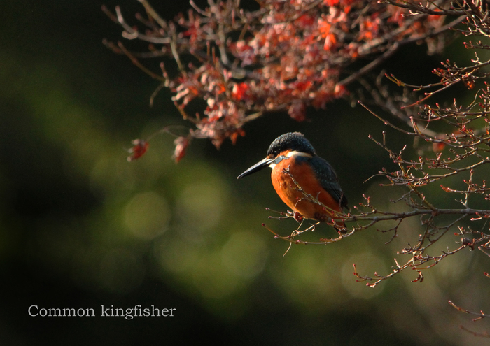 カワセミ:Common kingfisher_b0249597_735655.jpg