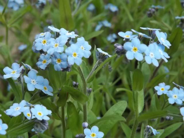 庭の忘れな草が咲きました_f0019498_16355414.jpg
