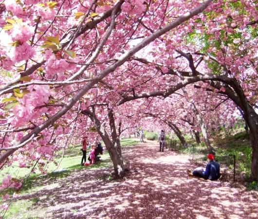 セントラルパークの桜のトンネルが咲きはじめました_b0007805_19544945.jpg