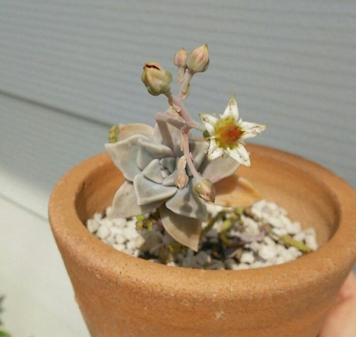 多肉植物。花が咲きました。_e0007451_19444027.jpg