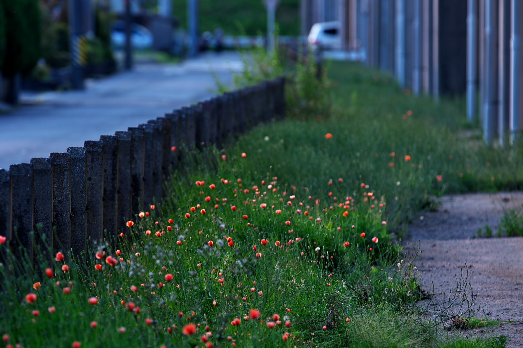 路傍の花。_c0187584_18175749.jpg