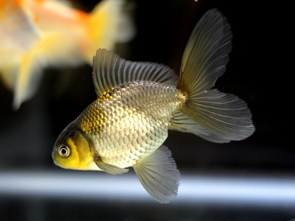 日本観賞魚フェア2015 ⑦_a0199486_23235554.jpg