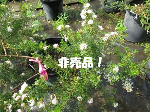 グレビレア クリスミフォリア 開花!_b0200291_212932.jpg