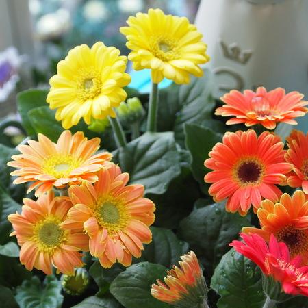 ミニガーベラは1年中お花を楽しめます_a0292194_23413575.jpg