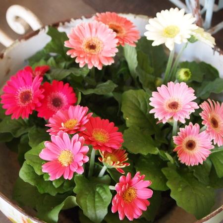 ミニガーベラは1年中お花を楽しめます_a0292194_23415629.jpg