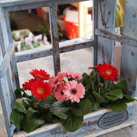 ミニガーベラは1年中お花を楽しめます_a0292194_23434095.jpg