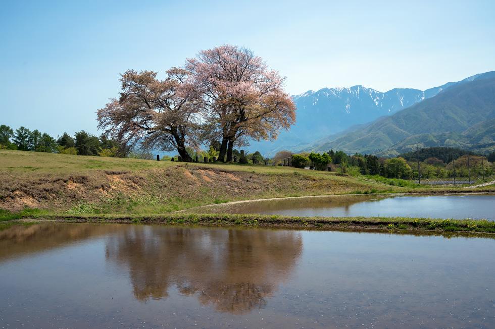富士見高原の鼎談桜_b0179231_22492939.jpg