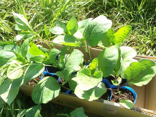 夏野菜の植え付け..完了です。_b0137932_21322861.jpg