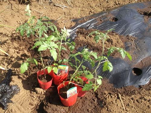 夏野菜の植え付け..完了です。_b0137932_21324945.jpg