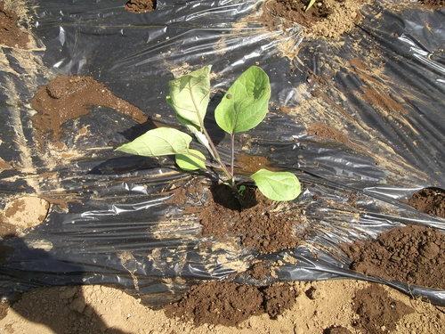 夏野菜の植え付け..完了です。_b0137932_21334886.jpg