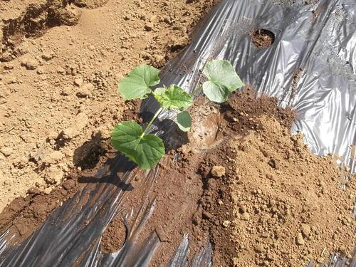 夏野菜の植え付け..完了です。_b0137932_2135578.jpg