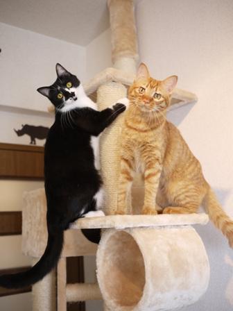 猫のお留守番 クルルちゃんタマラちゃん編。_a0143140_21251743.jpg