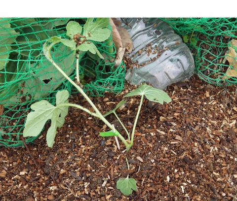 小玉スイカとタカノツメの苗植え付け、ダイコン種まきⅡ_c0014967_1062882.jpg