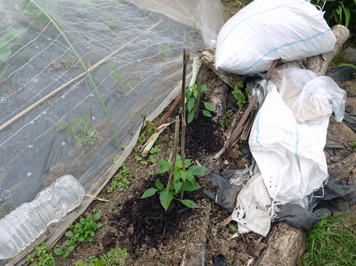 小玉スイカとタカノツメの苗植え付け、ダイコン種まきⅡ_c0014967_1065796.jpg