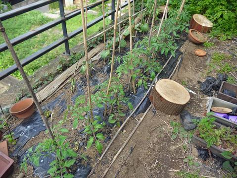 小玉スイカとタカノツメの苗植え付け、ダイコン種まきⅡ_c0014967_1084431.jpg